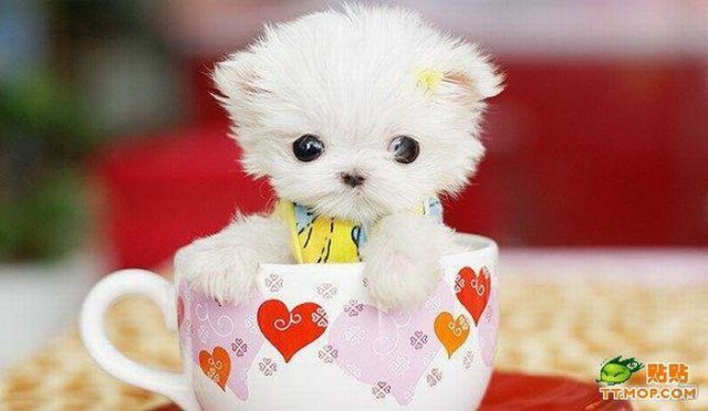 1259735636_tiny_dogs_in_cups_06