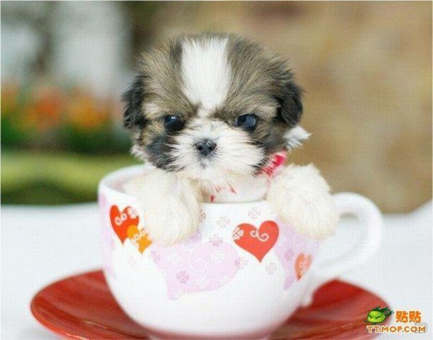 1259735675_tiny_dogs_in_cups_03
