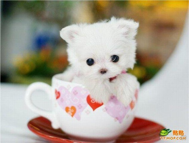 1259735698_tiny_dogs_in_cups_08